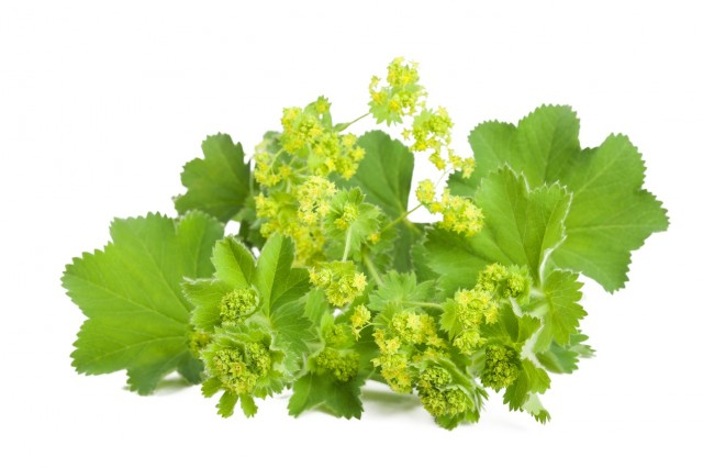 BM_Lady's Mantle isolated on white_86393176